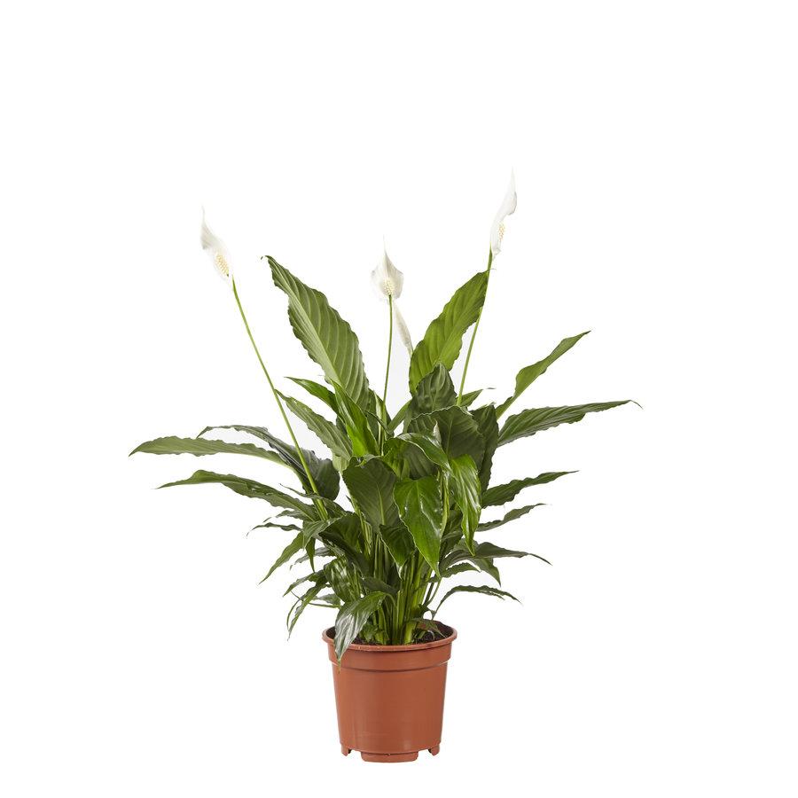 Lepelplant Spathiphyllum Vivaldi (17x70 cm)-1