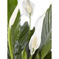 thumb-Lepelplant Spathiphyllum Vivaldi (17x70 cm)-4