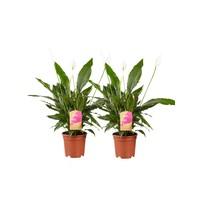 thumb-2 stuks Lepelplant Spathiphyllum Vivaldi (17x70 cm)-1