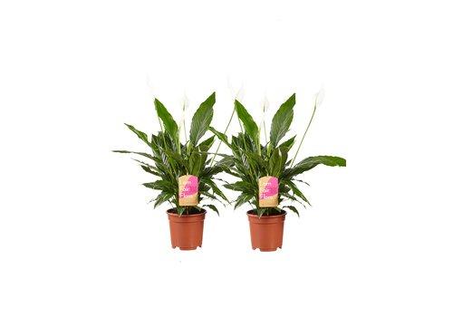 2 stuks Lepelplant Spathiphyllum Vivaldi (17x70 cm)