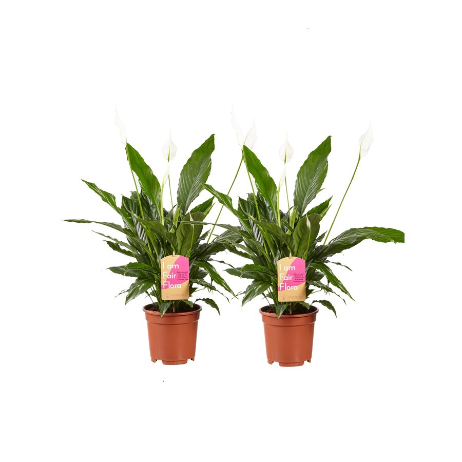 2 stuks Lepelplant Spathiphyllum Vivaldi (17x70 cm)-1