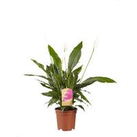 thumb-2 stuks Lepelplant Spathiphyllum Vivaldi (17x70 cm)-2