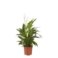 thumb-2 stuks Lepelplant Spathiphyllum Vivaldi (17x70 cm)-3