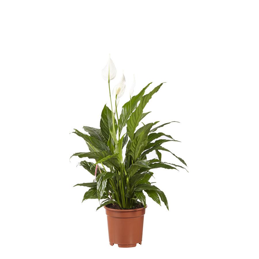 2 stuks Lepelplant Spathiphyllum Vivaldi (17x70 cm)-3
