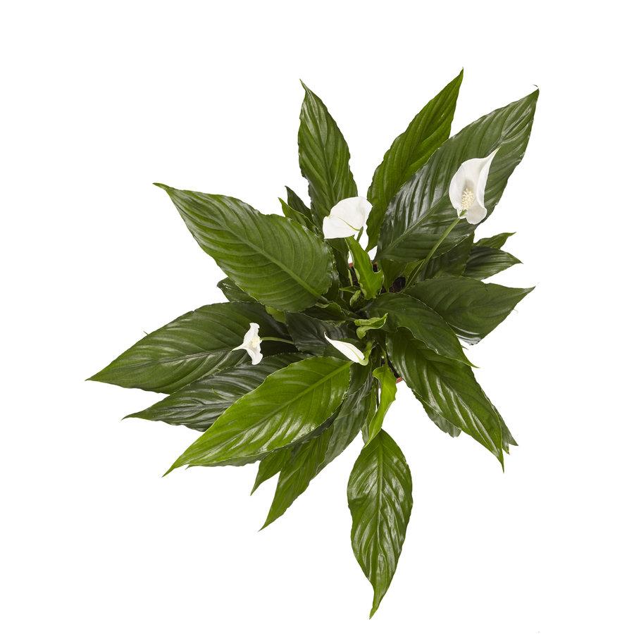 2 stuks Lepelplant Spathiphyllum Vivaldi (17x70 cm)-4