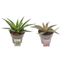 Mix Mangave 'Pineapple Express' en 'Redwing' (15x15 cm)