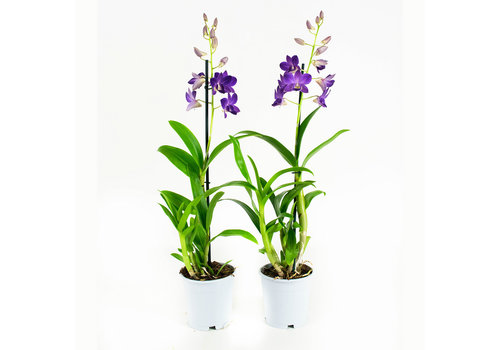 Dendrobium Sa-nook Bl Happiness (DSBH01F0CH - 11x55 cm)