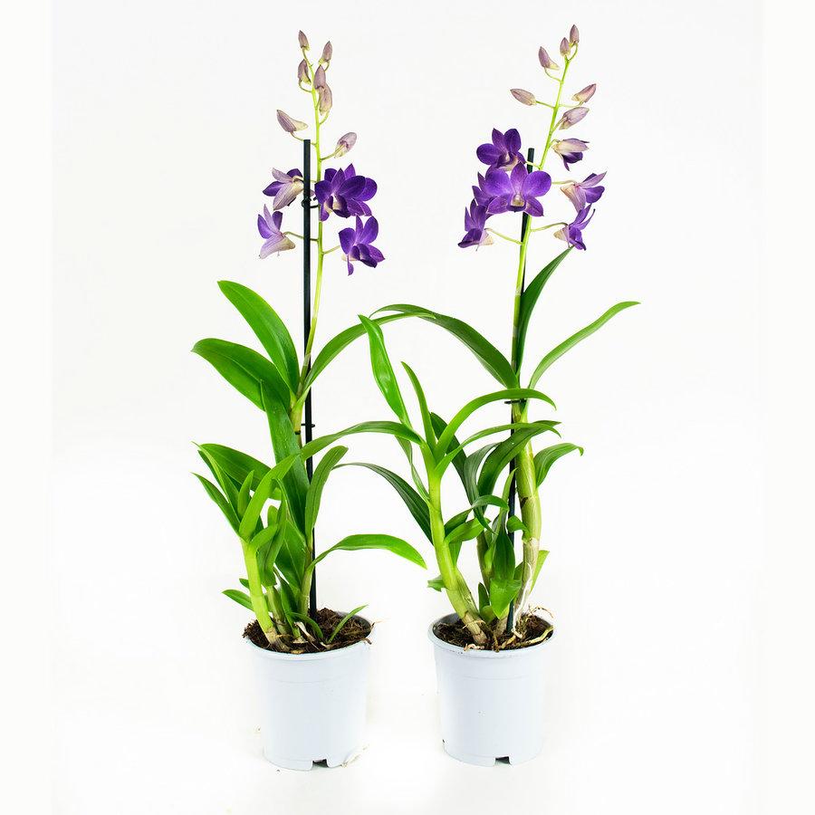 Dendrobium Sa-nook Bl Happiness (DSBH01F0CH - 11x55 cm)-1