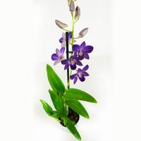 thumb-Dendrobium Sa-nook Bl Happiness (DSBH01F0CH - 11x55 cm)-2