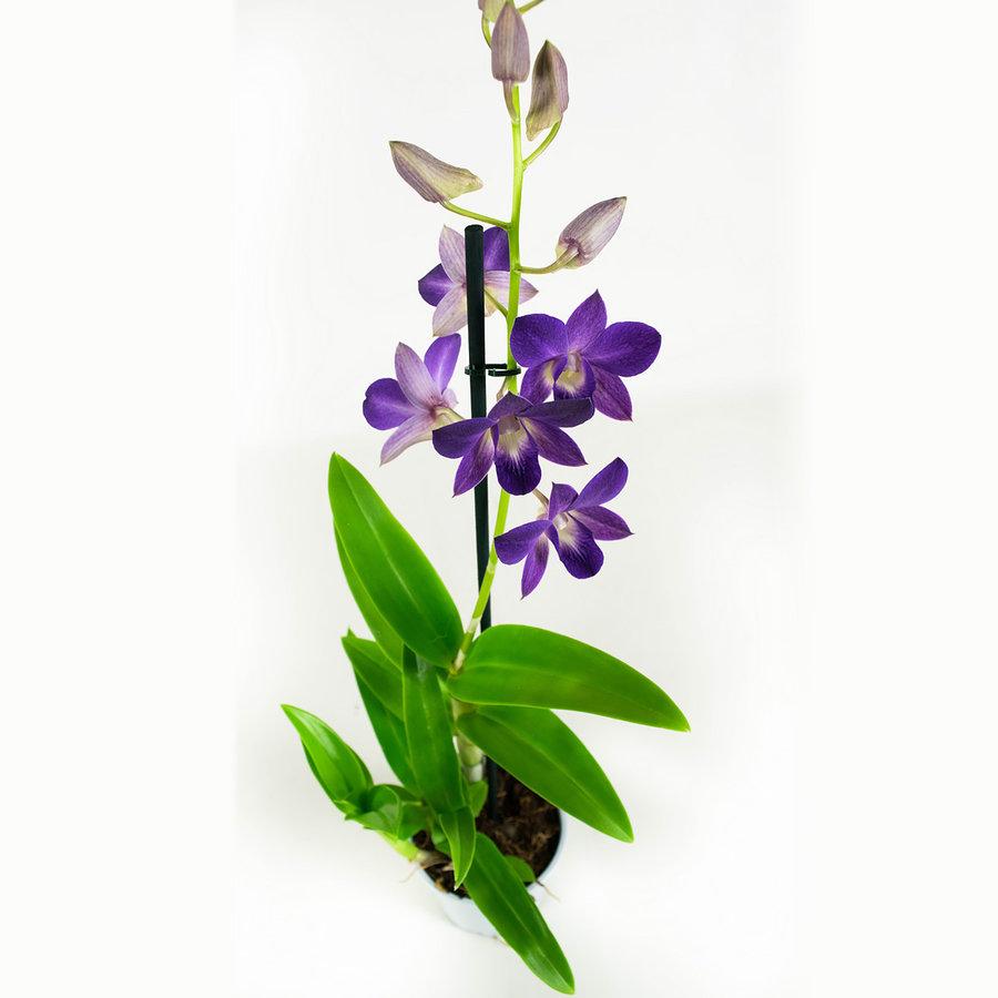 Dendrobium Sa-nook Bl Happiness (DSBH01F0CH - 11x55 cm)-2