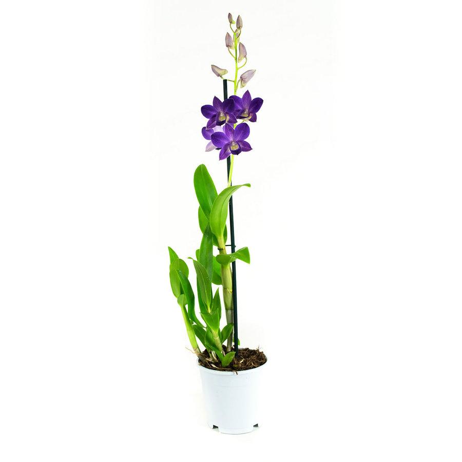 Dendrobium Sa-nook Bl Happiness (DSBH01F0CH - 11x55 cm)-5
