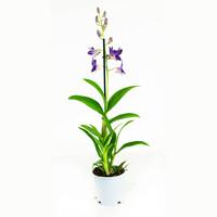thumb-Dendrobium Sa-nook Bl Happiness (DSBH01F0CH - 11x55 cm)-6