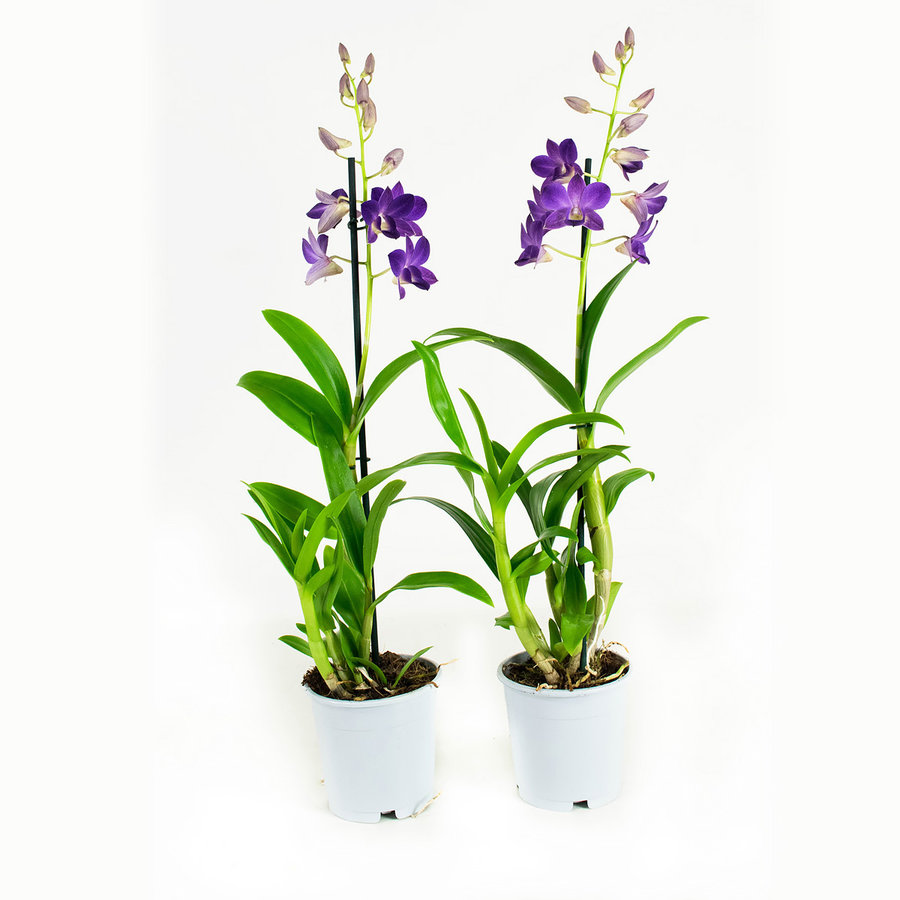 Dendrobium Sa-nook Bl Happiness (DSBH01F0CH - 11x55 cm)-8