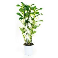 thumb-Dendrobium Nobile Apollon 3T (DNAP03B0I2 - 12x50 cm)-1