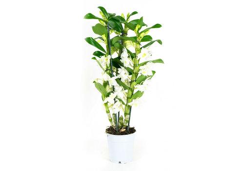 Dendrobium Nobile Apollon 3T (DNAP03B0I2 - 12x50 cm)