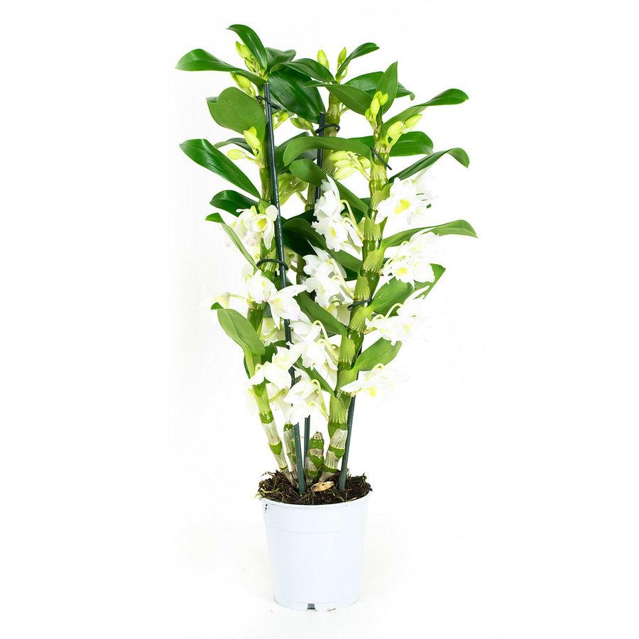 Dendrobium Nobile Apollon 3T (DNAP03B0I2 - 12x50 cm)-1