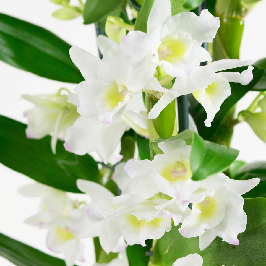 Dendrobium Nobile Apollon 3T (DNAP03B0I2 - 12x50 cm)-2