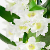 thumb-Dendrobium Nobile Apollon 3T (DNAP03B0I2 - 12x50 cm)-3