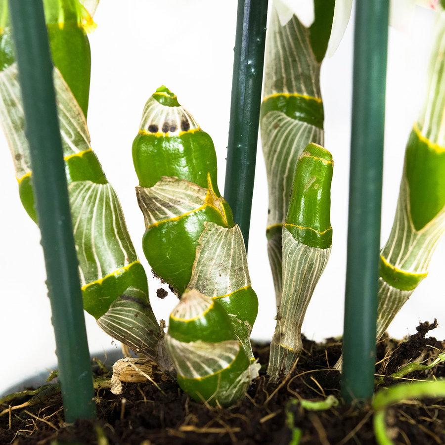 Dendrobium Nobile Apollon 3T (DNAP03B0I2 - 12x50 cm)-4
