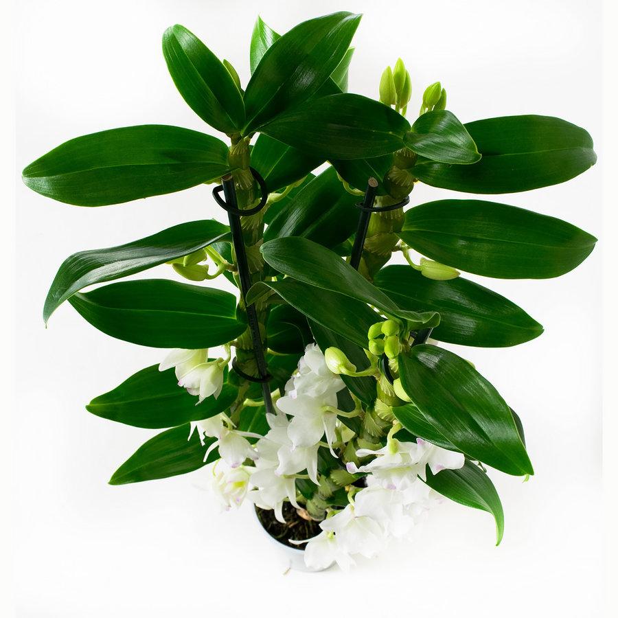 Dendrobium Nobile Apollon 3T (DNAP03B0I2 - 12x50 cm)-5