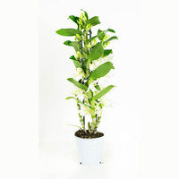 thumb-Dendrobium Nobile Apollon 3T (DNAP03B0I2 - 12x50 cm)-6