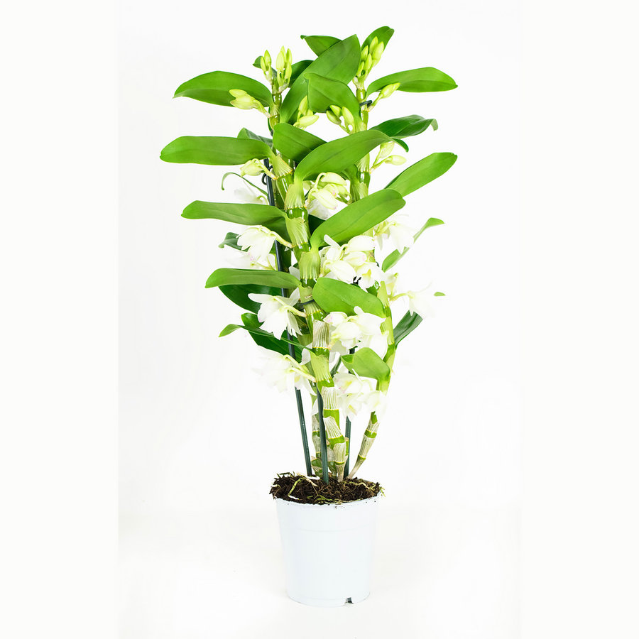 Dendrobium Nobile Apollon 3T (DNAP03B0I2 - 12x50 cm)-7