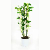 thumb-Dendrobium Nobile Apollon 3T (DNAP03B0I2 - 12x50 cm)-8