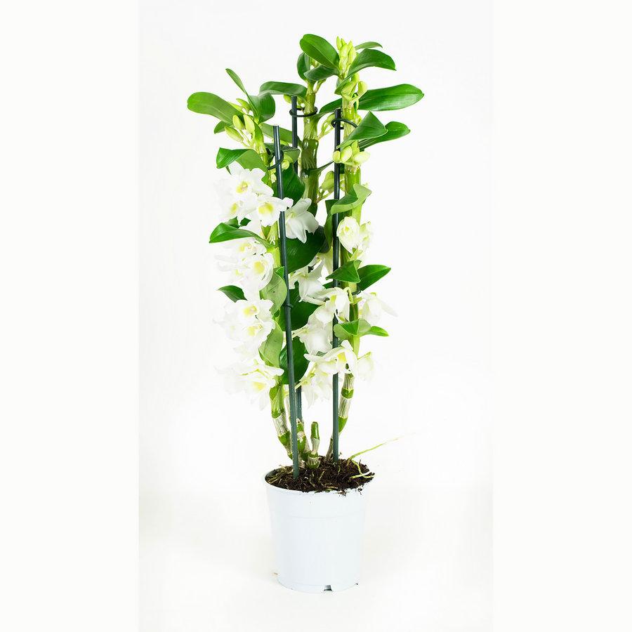 Dendrobium Nobile Apollon 3T (DNAP03B0I2 - 12x50 cm)-8