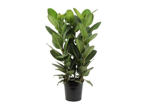 Ficus Audrey (27x80 cm)