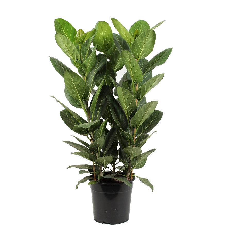 Ficus Audrey (27x80 cm)-1
