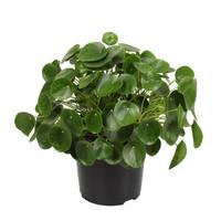 Pannenkoekenplant XL (Pilea Peperomioides - 27x50 cm)