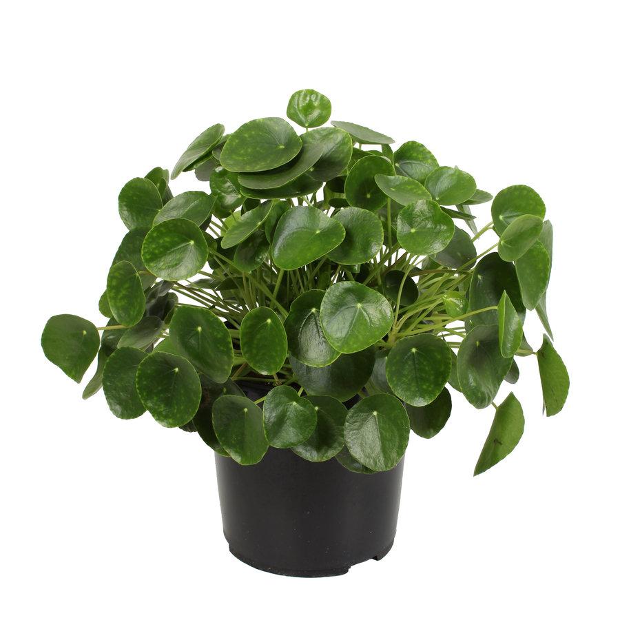 Pannenkoekenplant XL (Pilea Peperomioides - 27x50 cm)-1