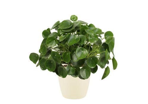 Pannenkoekenplant XL in ELHO sierpot (soap) (Pilea Peperomioides - 30x50 cm)