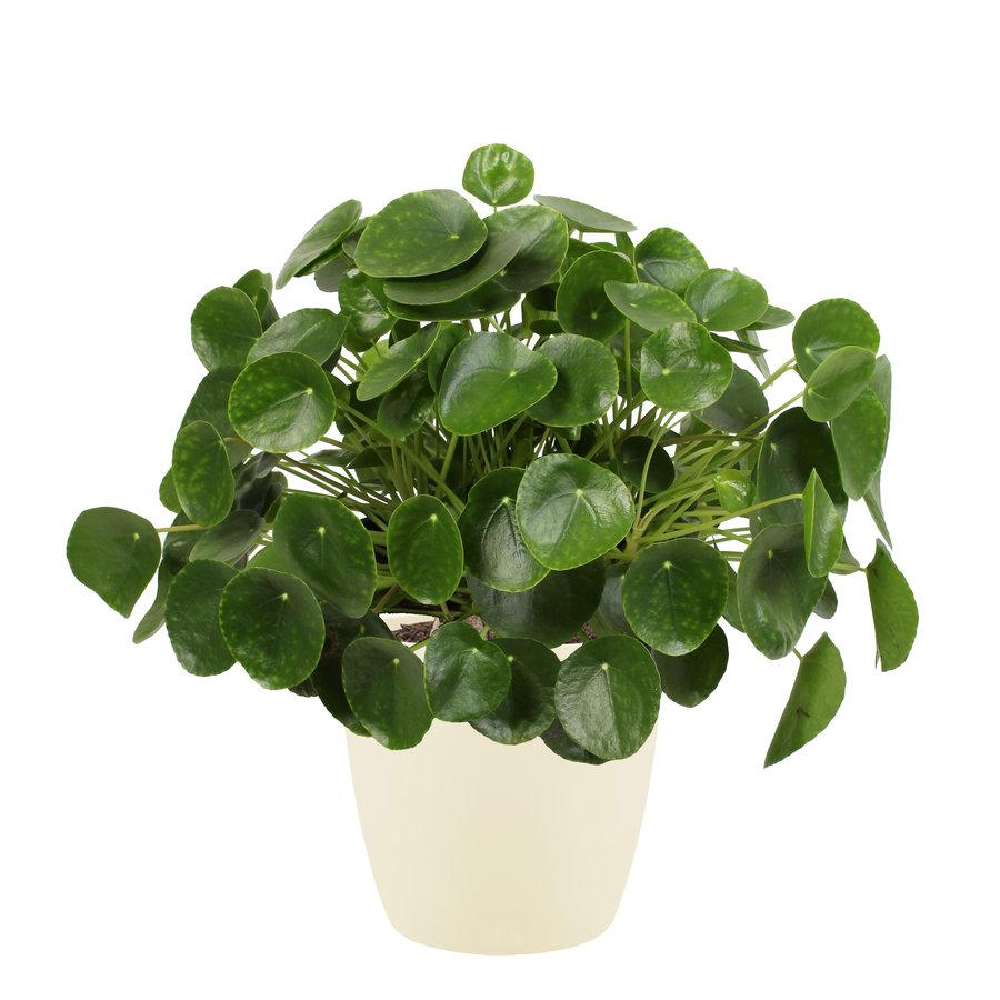 Pannenkoekenplant XL in ELHO sierpot (soap) (Pilea Peperomioides - 30x50 cm)-1