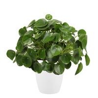 Pannenkoekenplant XL in ELHO sierpot (wit) (Pilea Peperomioides - 30x50 cm)