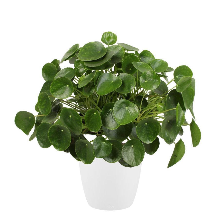 Pannenkoekenplant XL in ELHO sierpot (wit) (Pilea Peperomioides - 30x50 cm)-1
