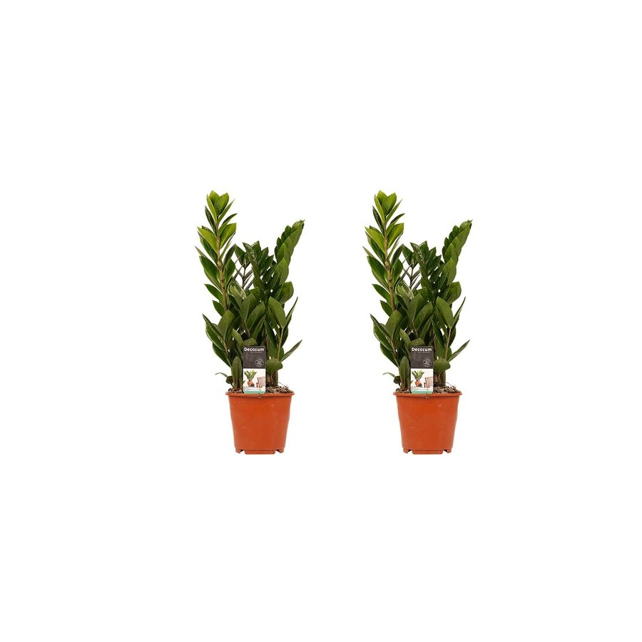 Decorum Duo 2 x Zamio Culcas (14x45 cm)-1