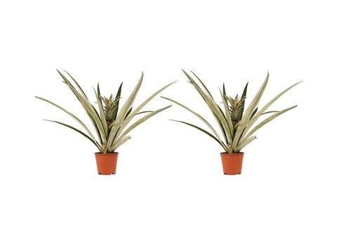 Decorum Duo 2 x Ananas Champaca (14x55 cm)