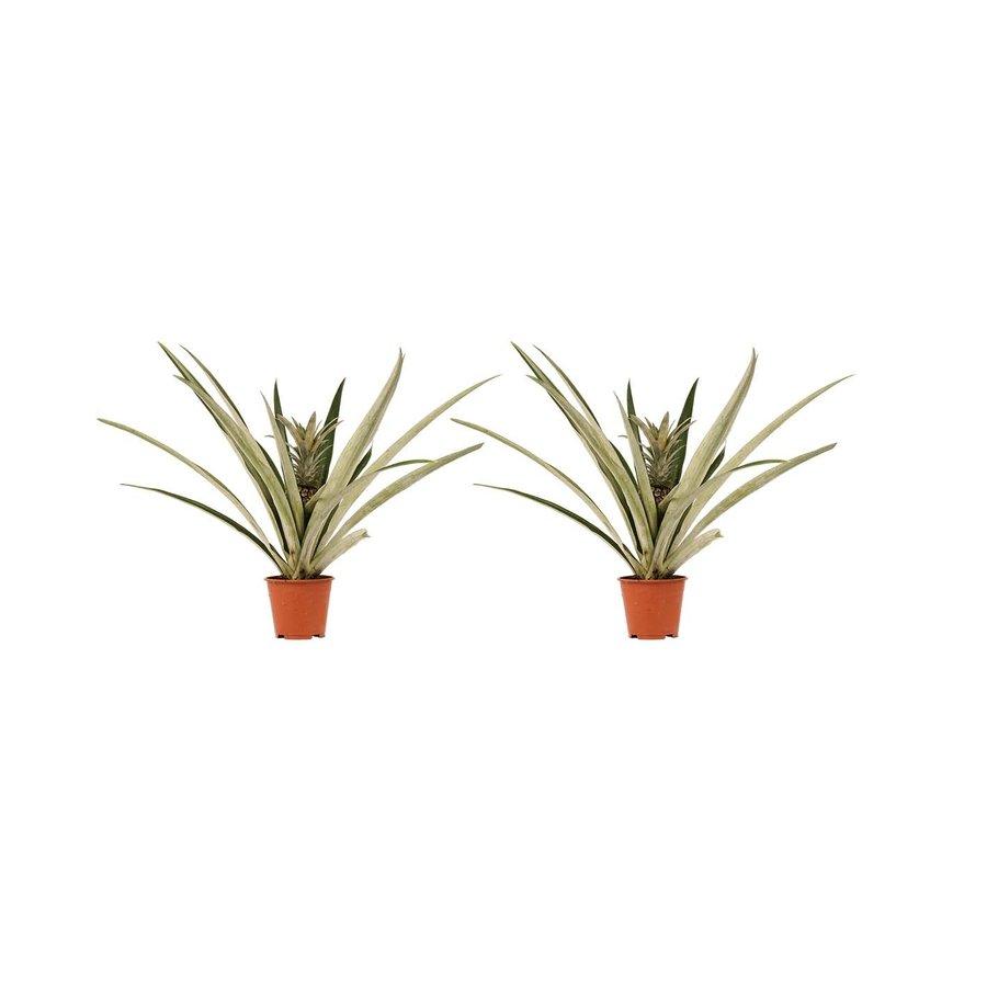 Decorum Duo 2 x Ananas Champaca (14x55 cm)-1