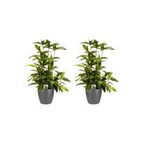 thumb-Decorum Duo 2x Dracaena Surculosaet Elho brussels antracite (17x55 cm)-1