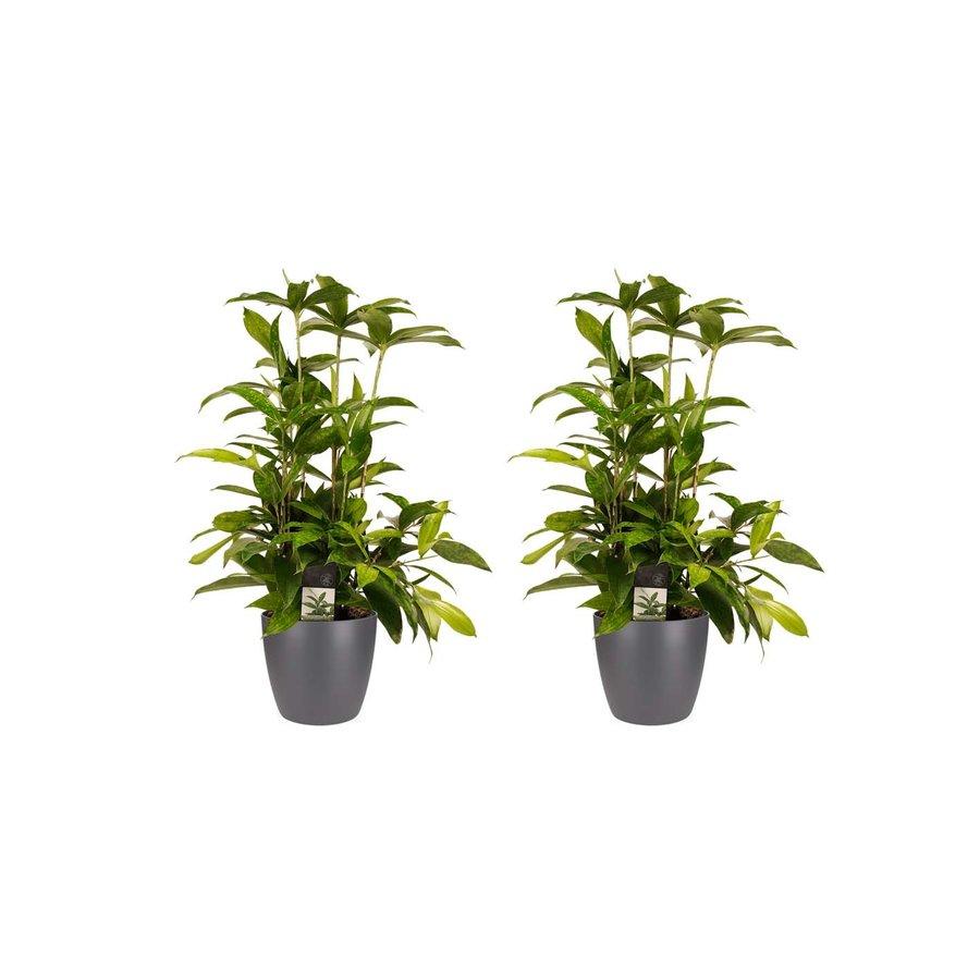Decorum Duo 2x Dracaena Surculosaet Elho brussels antracite (17x55 cm)-1