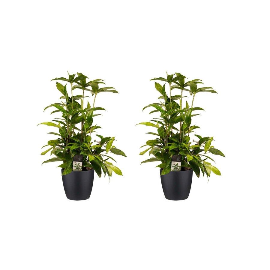Decorum Duo 2x Dracaena Surculosa met Elho brussels living black (17x55 cm)-1