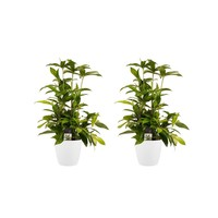 thumb-Decorum Duo 2x Dracaena Surculosa met Elho brussels white (17x55 cm)-1