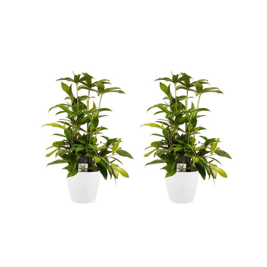 Decorum Duo 2x Dracaena Surculosa met Elho brussels white (17x55 cm)-1
