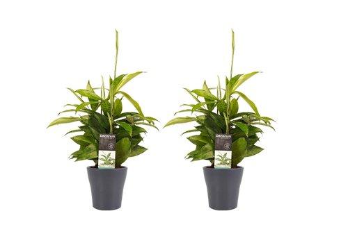 Decorum Duo 2 x Dracaena Surculosa met Anna grey (12x45 cm)