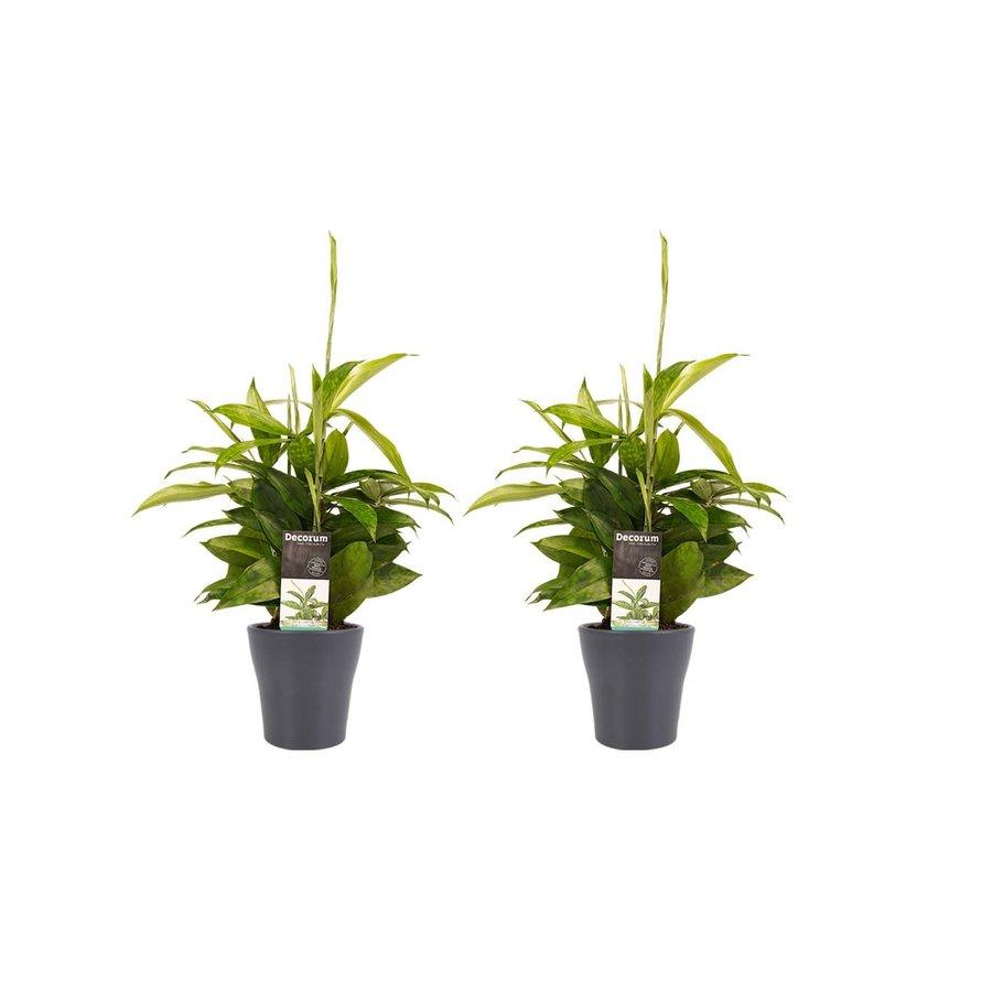 Decorum Duo 2 x Dracaena Surculosa met Anna grey (12x45 cm)-1