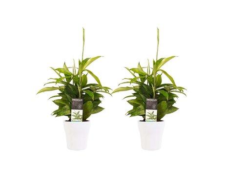 Decorum Duo 2 x Dracaena Surculosa met Anna white (12x45 cm)