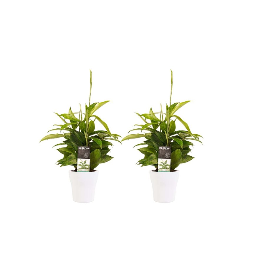 Decorum Duo 2 x Dracaena Surculosa met Anna white (12x45 cm)-1