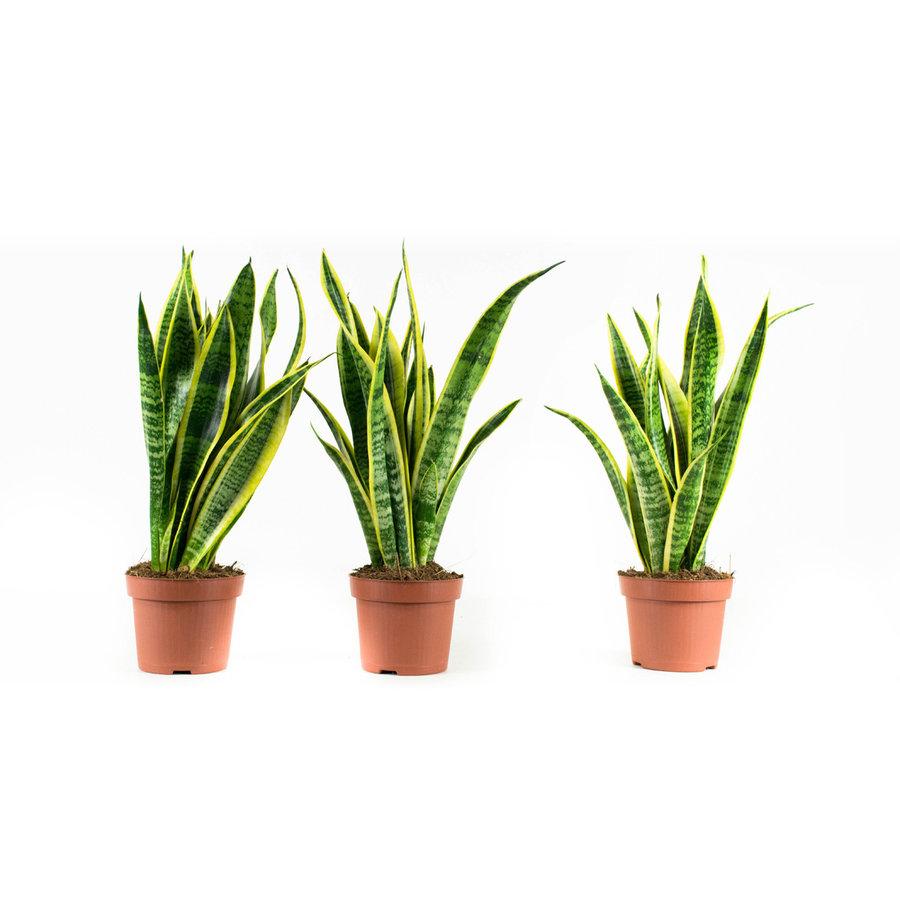 Sanseveria Laurentie (Sansevieria - 12x30 cm)-1