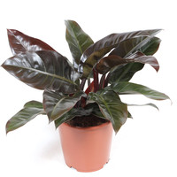 thumb-Philodendron Imperial red (27x70 cm)-1